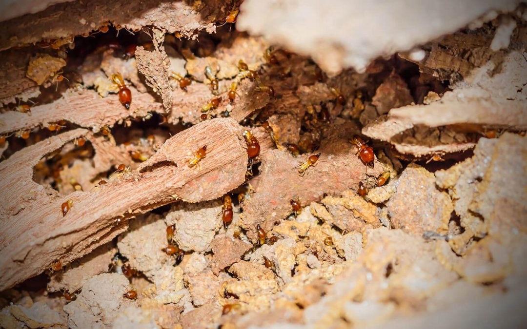 prevent termites to protect your home and property